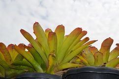 Bromeliad and sky. Bromeliad blue sky background and beautiful Royalty Free Stock Photo