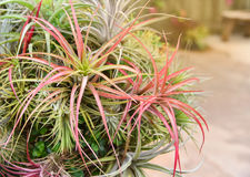 Bromeliad tree Stock Photo