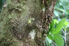 Bromeliad on a tree. A bromeliad grows out of a tree in the tropical rainforest of Costa Rica Stock Photo