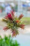 Bromeliad tree growth on the wood Stock Image