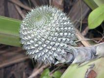 Bromeliad,  typical  plant of neotropical regions. SAO PAULO, SP, BRAZIL - CIRCA JANUARY, 2012 - Bromeliad, plant of the family Bromeliaceae, typical of Stock Image