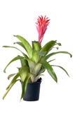 Bromeliad växt i blommakruka Royaltyfria Foton