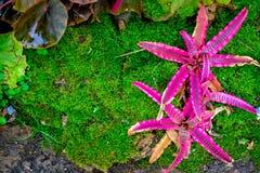 Bromeliad w ogródzie Na mech tle Zdjęcia Stock