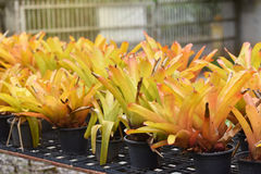 Bromeliad yellow Stock Photography