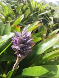 Bromeliads blooming Stock Photography
