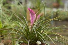 Bromeliads Blume Lizenzfreies Stockfoto