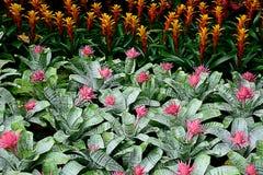 Bromeliads Stock Photos