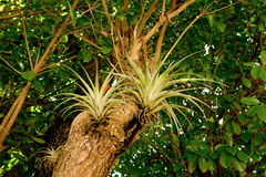 Bromeliads in the caribbean Stock Photography