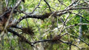 Bromeliads on Cyprus tree branches. Royalty Free Stock Images