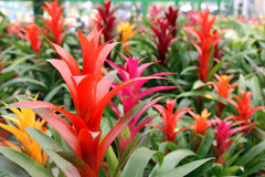 Free Bromeliads Flower Royalty Free Stock Images - 23523029