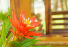 Bromeliads flower red beautiful natural in garden Scientific name Guzmania ligulata. Bromeliads flower red beautiful natural in garden. Scientific name Guzmania royalty free stock photo