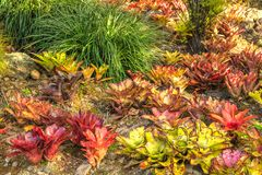 A colorful garden of bromeliad plants stock images