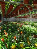 Bromeliads in greenhouse Royalty Free Stock Photo