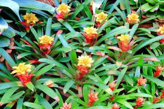 Bromeliads Royalty Free Stock Photos