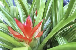 Bromeliads Plant with red flowers. Royalty Free Stock Photo