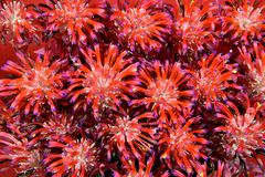 Bromeliads, Tillandsia Stricta Стоковая Фотография