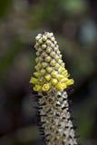 Bromelie Aechmea-bromeliifolia im Wald Stockbilder