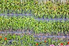 Bromelie (Aechmea-fasciata) Lizenzfreie Stockbilder