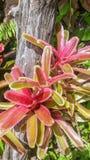 Bromelie (Aechmea-fasciata) im Garten Lizenzfreies Stockfoto