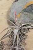 Bromelie en sequía extrema condiciona en la arena, Caral, Perú Imagen de archivo libre de regalías