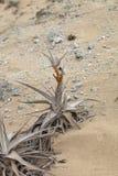 Bromelie en sequía extrema condiciona en la arena, Caral, Perú Fotografía de archivo libre de regalías