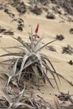 Bromelie en sequía extrema condiciona en la arena, Caral, Perú Foto de archivo