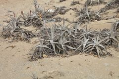 Bromelie in extreme drought conditions in the sand, Caral, Peru Royalty Free Stock Image