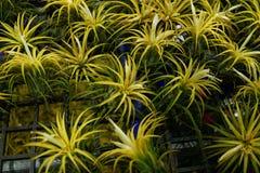 Bromelie im Garten Stockbilder