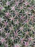 Bromelie im Garten stockfotografie
