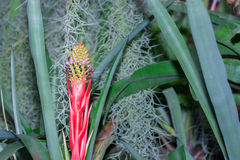 Bromelie- oder Aechmea fasciata-(Aechmea-weilbachii) Art von Brasilien-Anlage Lizenzfreie Stockfotografie