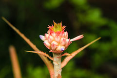Bromelie- oder Aechmea fasciata-Blume Stockbilder