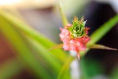 Bromelie- oder Aechmea fasciata-Blume Lizenzfreie Stockfotos