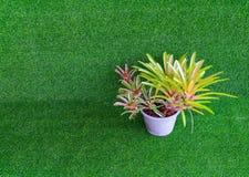 Bromelieanlage im Plastiktopf auf dem künstlichen Gras (wissenschaftlich Lizenzfreies Stockfoto
