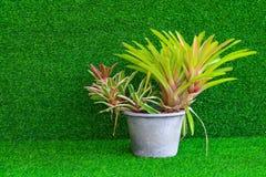 Bromelieanlage im Plastiktopf auf dem künstlichen Gras (wissenschaftlich Lizenzfreie Stockfotografie