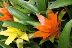 Bromelieblumen Guzmania-ligulata Stockfoto