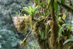Bromelior och mossa som växer på branchs för ett träd, Rainforest, Costa Rica Fotografering för Bildbyråer