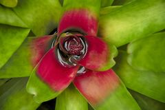 A detailed view from above of a wet bromeliad. stock image