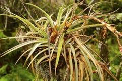 Bromélia dans un arbre tropical Images libres de droits