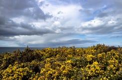 Bromm blommar närbild med det irländska havet i bakgrund Royaltyfri Bild