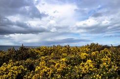 Bromm blommar närbild med det irländska havet i bakgrund Royaltyfria Bilder