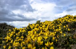 Bromm blommar närbild med det irländska havet i bakgrund Royaltyfri Foto