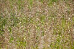 Bromus Inermis, Smooth Bromegrass Stock Photos