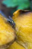 Bromvlieg die rottende mango eten Stock Afbeelding