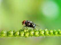 Bromvlieg op zaden van Heliotropium-indicumboom Royalty-vrije Stock Afbeeldingen
