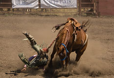 Bronc Rider Takes a Fall Royalty Free Stock Image