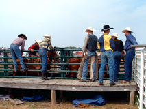 Bronc Riding. Cowboys getting ready to ride broncs, cheering and helping each other on Stock Photos
