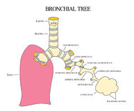 Bronchial tree Stock Images