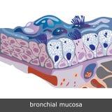 Bronchiale Mucosa-Regeling Stock Foto