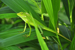 Bronchocela jubata. Commonly known as the maned forest lizard, is a species of agamid lizard found mainly in Indonesia on the islands of Singkep, Java, Bali royalty free stock photography