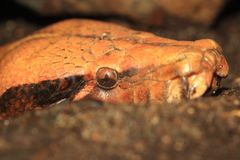 Brongersma κοντός-που παρακολουθείται python Στοκ φωτογραφίες με δικαίωμα ελεύθερης χρήσης